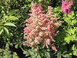Country and Western Astilbe (Astilbe 'Country And Western') at Parkland Garden Centre