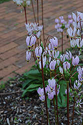Shooting Star (Dodecatheon meadia) at Parkland Garden Centre