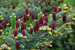 Red Cone Spruce (Picea abies 'Acrocona') at Parkland Garden Centre