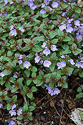 Waterperry Blue Speedwell (Veronica 'Waterperry Blue') at Parkland Garden Centre