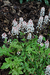 Pink Brushes Foamflower (Tiarella 'Pink Brushes') at Parkland Garden Centre