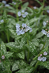 Opal Lungwort (Pulmonaria 'Opal') at Parkland Garden Centre