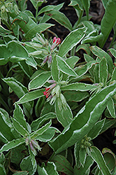 David Ward Lungwort (Pulmonaria 'David Ward') at Parkland Garden Centre