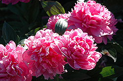 J.H. Wigell Peony (Paeonia 'J.H. Wigell') at Parkland Garden Centre
