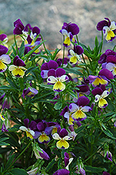 Johnny Jump-Up (Viola tricolor) at Parkland Garden Centre