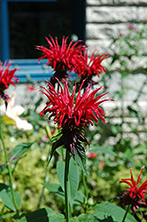 Jacob Cline Beebalm (Monarda 'Jacob Cline') at Parkland Garden Centre