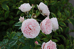 Morden Blush Rose (Rosa 'Morden Blush') at Parkland Garden Centre