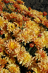 Tiger Tail Chrysanthemum (Chrysanthemum 'Tiger Tail') at Parkland Garden Centre