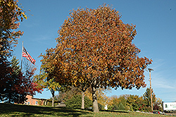 Autumn Splendor Buckeye (Aesculus 'Autumn Splendor') at Parkland Garden Centre