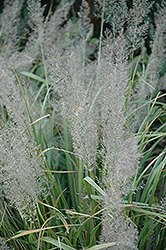 Korean Reed Grass (Calamagrostis brachytricha) at Parkland Garden Centre
