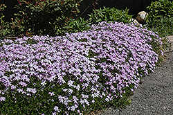 Emerald Blue Moss Phlox (Phlox subulata 'Emerald Blue') at Parkland Garden Centre