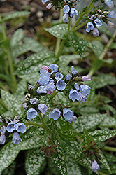 Roy Davidson Lungwort (Pulmonaria 'Roy Davidson') at Parkland Garden Centre