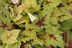 Pirate's Patch Foamflower (Tiarella 'Pirate's Patch') at Parkland Garden Centre