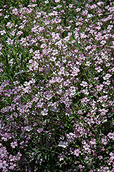 Red Creeping Baby's Breath (Gypsophila repens 'Rubra') at Parkland Garden Centre
