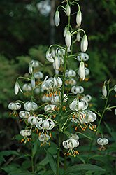 White Martagon Lily (Lilium martagon 'Album') at Parkland Garden Centre