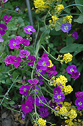 Whitewell Gem Rock Cress (Aubrieta deltoidea 'Whitewell Gem') at Parkland Garden Centre