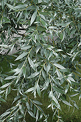 Silver Willow (Salix alba 'Sericea') at Parkland Garden Centre