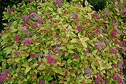 Magic Carpet Spirea (Spiraea x bumalda 'Magic Carpet') at Parkland Garden Centre
