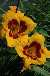 Blackberry Candy Daylily (Hemerocallis 'Blackberry Candy') at Parkland Garden Centre