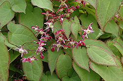 Bishop's Hat (Epimedium x rubrum) at Parkland Garden Centre