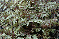 Red Beauty Painted Fern (Athyrium nipponicum 'Red Beauty') at Parkland Garden Centre