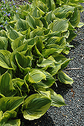 Gold Edger Hosta (Hosta 'Gold Edger') at Parkland Garden Centre