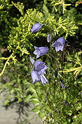 Bavaria Blue Creeping Bellflower (Campanula cochleariifolia 'Bavaria Blue') at Parkland Garden Centre