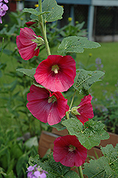Red Hollyhock (Alcea rosea 'Red') at Parkland Garden Centre
