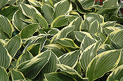 Golden Variegated Hosta (Hosta fortunei 'Aureomarginata') at Parkland Garden Centre