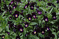 Bowles Black Pansy (Viola cornuta 'Bowles Black') at Parkland Garden Centre