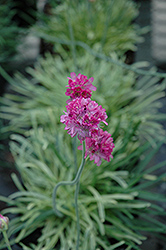 Nifty Thrifty Sea Thrift (Armeria maritima 'Nifty Thrifty') at Parkland Garden Centre