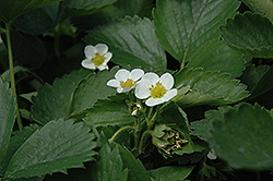 Everbearing Strawberry (Fragaria 'Everbearing') at Parkland Garden Centre
