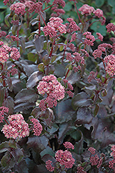 Lynda Windsor Stonecrop (Sedum 'Lynda Windsor') at Parkland Garden Centre