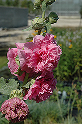 Chater's Double Pink Hollyhock (Alcea rosea 'Chater's Double Pink') at Parkland Garden Centre