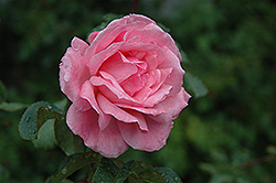 Queen Elizabeth Rose (Rosa 'Queen Elizabeth') at Parkland Garden Centre