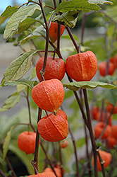 Chinese Lantern (Physalis franchetii) at Parkland Garden Centre