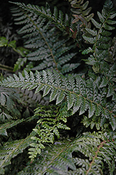 Hard Shield Fern (Polystichum aculeatum) at Parkland Garden Centre