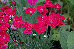 Neon Star Pinks (Dianthus 'Neon Star') at Parkland Garden Centre