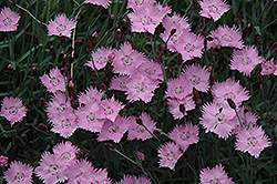 Bath's Pink Pinks (Dianthus 'Bath's Pink') at Parkland Garden Centre