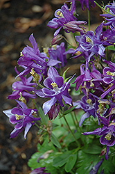 Biedermeier Blue Columbine (Aquilegia 'Biedermeier Blue') at Parkland Garden Centre