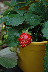Kent Strawberry (Fragaria 'Kent') at Parkland Garden Centre