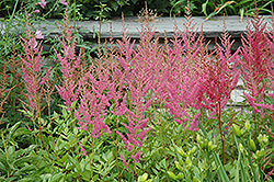 Visions in Pink Chinese Astilbe (Astilbe chinensis 'Visions in Pink') at Parkland Garden Centre