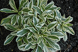 Variegated Alpine Rock Cress (Arabis ferdinandi-coburgi 'Variegata') at Parkland Garden Centre