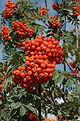 Russian Mountain Ash (Sorbus aucuparia 'Rossica') at Parkland Garden Centre