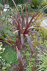 Amazing Red New Zealand Flax (Phormium 'Amazing Red') at Parkland Garden Centre