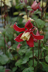 Swan Red and White Columbine (Aquilegia caerulea 'Swan Red and White') at Parkland Garden Centre