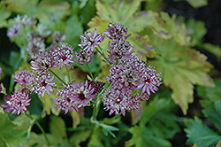Abbey Road Masterwort (Astrantia major 'Abbey Road') at Parkland Garden Centre