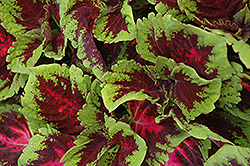 Kong Red Coleus (Solenostemon scutellarioides 'Kong Red') at Parkland Garden Centre