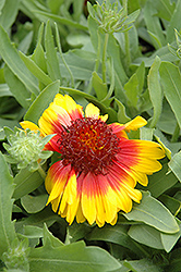 Mesa Bright Bicolor Blanket Flower (Gaillardia x grandiflora 'Mesa Bright Bicolor') at Parkland Garden Centre