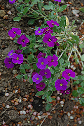 Royal Violet Rock Cress (Aubrieta 'Royal Violet') at Parkland Garden Centre